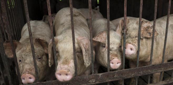 Ukraina znów chce wprowadzić embargo na polską wieprzowinę.