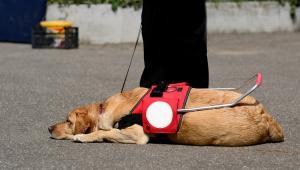 Coraz więcej osób niewidomych korzysta z pomocy psa przewodnika.