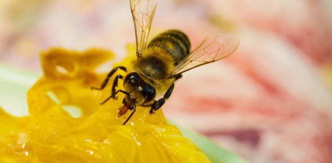 pszczoła, miód