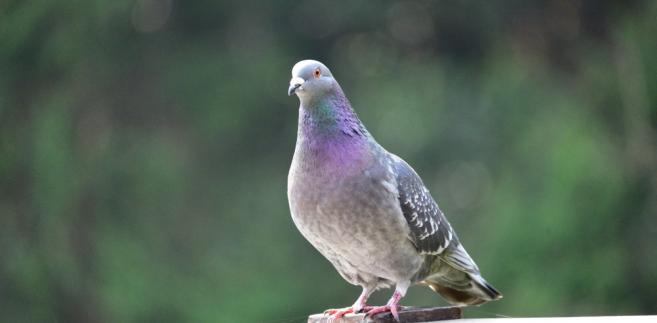 Strych, który stanowił schronienie dla 200 gołębi był wyposażony w boksy, ale ich liczba była zbyt mała w stosunku do ilości zwierząt.