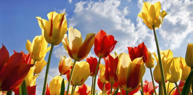 Tulipomania to termin ukuty w odniesieniu do wydarzeń w XVI – wiecznej Holandii, kiedy to sprowadzono pierwsze tulipany z Imperium Osmańskiego